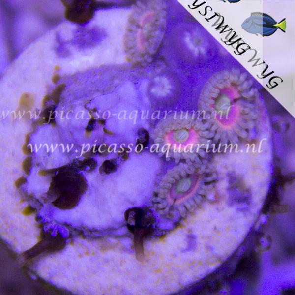 ASD Pink Lemon Zoanthus