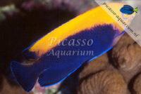 Centropyge aurantonotus