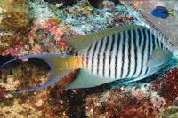 Genicanthus melanospilus