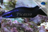 Pseudochromis Springeri