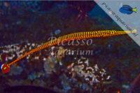 Doryhampus pessuliferus