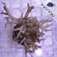 Stylophora