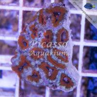 I01 Acanthastrea