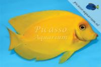 Acanthurus Pyroferus Yellow juv