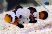 Amphiprion occelaris black ice