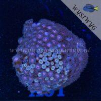 A01 Zoanthus