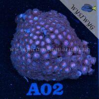 A02 Zoanthus