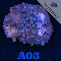A03 Zoanthus