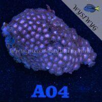 A04 Zoanthus