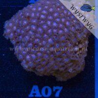 A07 Zoanthus
