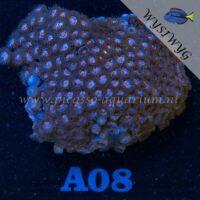 A08 Zoanthus