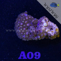 A09 Zoanthus