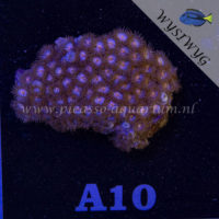 A10 Zoanthus