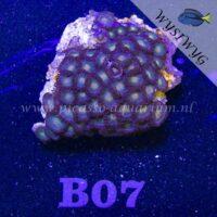 B07 Zoanthus