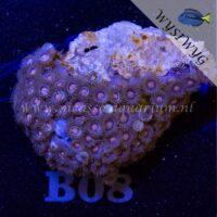 B08 Zoanthus