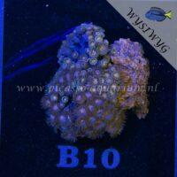 B10 Zoanthus