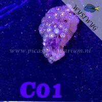 C01 Zoanthus