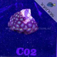 C02 Zoanthus