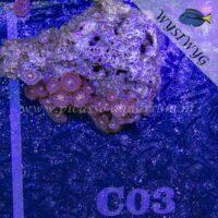 C03 Zoanthus
