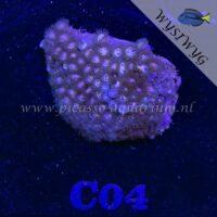 C04 Zoanthus