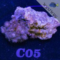 C05 Zoanthus
