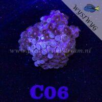 C06 Zoanthus