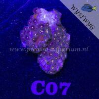 C07 Zoanthus