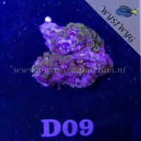 D09 Zoanthus