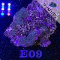 E09 Rhodactis