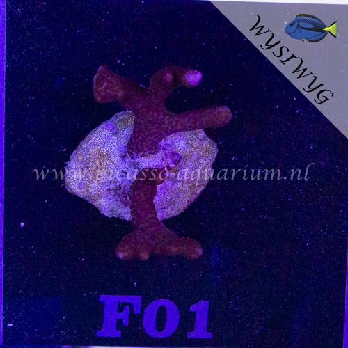 F01 Montipora