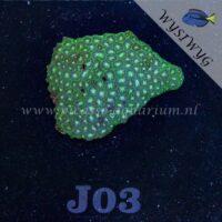 J03 leptastrea