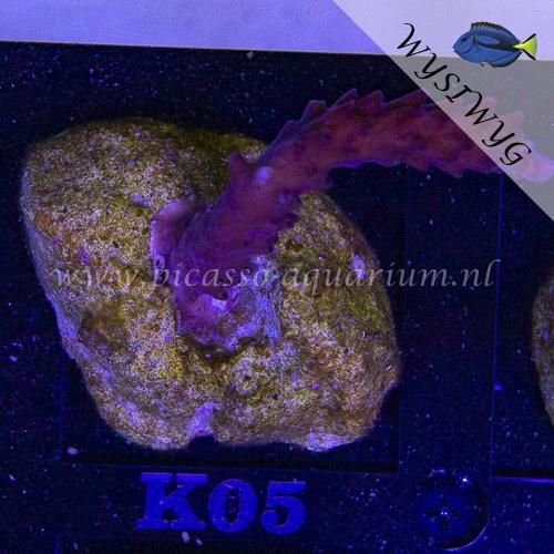 K05 Acropora
