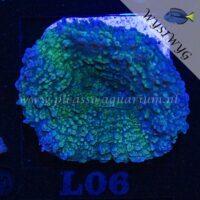 L06 Lobophyllia