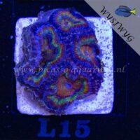 L15 Acanthastrea
