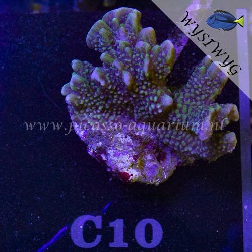 C10 Montipora