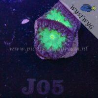 J05 Blastomussa