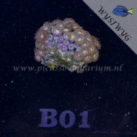 B01 Zoanthus
