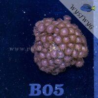 B05 Zoanthus