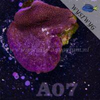 A07 Montipora