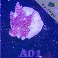 A01 Acropora