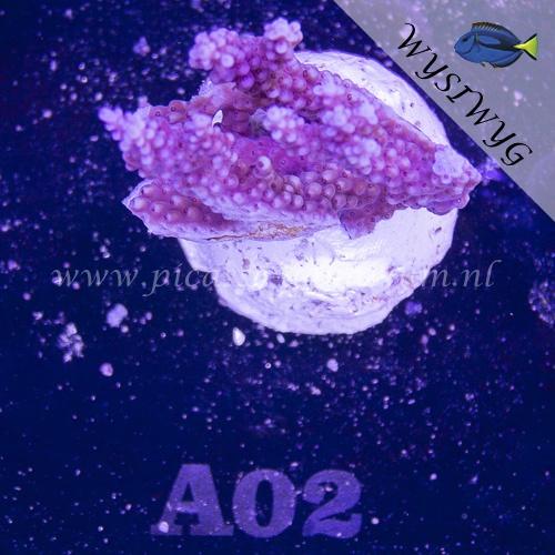 A02 Acropora