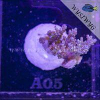 A05 Acropora