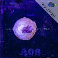 A06 Acropora