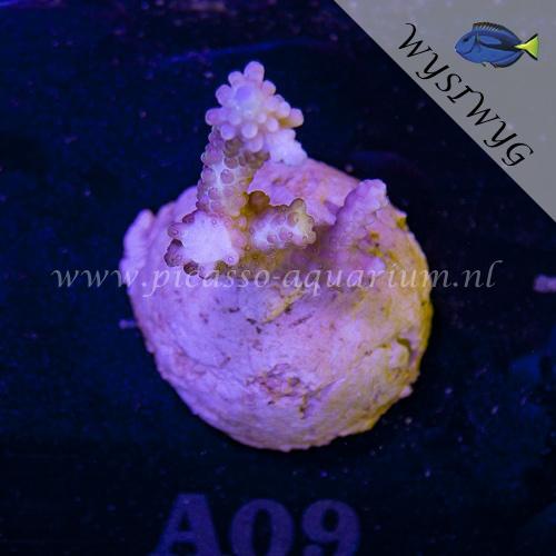 A09 Acropora