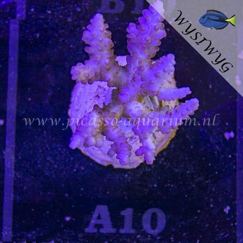 A10 Acropora