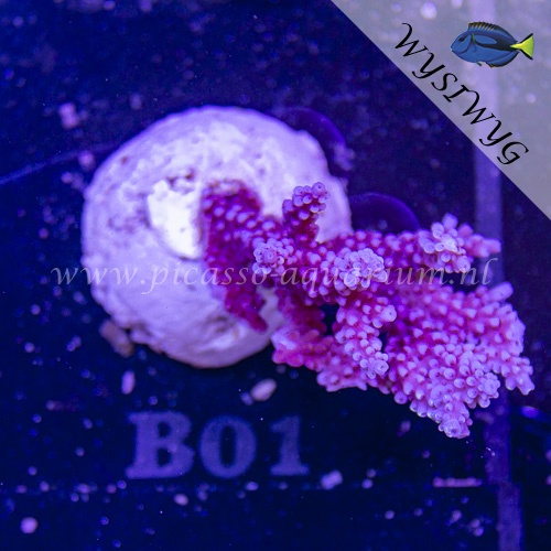 B01 Acropora