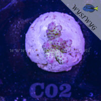 C02 Acropora