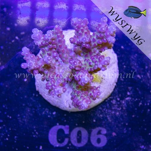C06 Acropora
