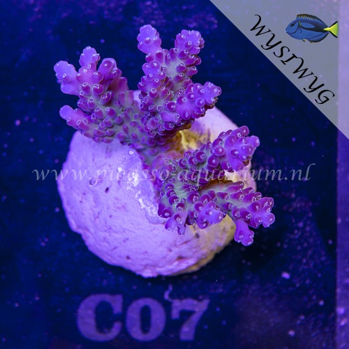 C07 Acropora
