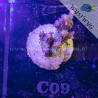 C09 Acropora
